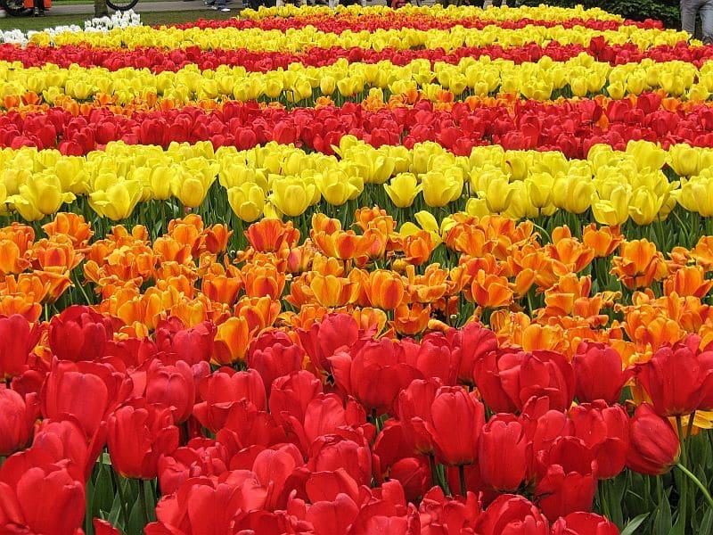 red, orange and yellow tulips in keukenhof