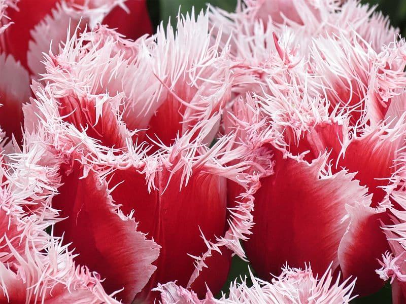 close-up of pink and white fringed tulips in Keukenhof