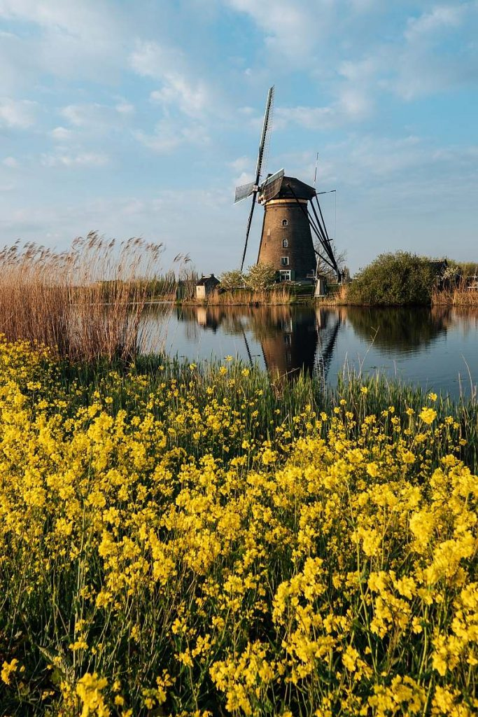 yellow flowers at the foreground and a windmill at the background with water in-between, Kinderdijk
